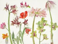 Amaryllis, Orchids and Tulips