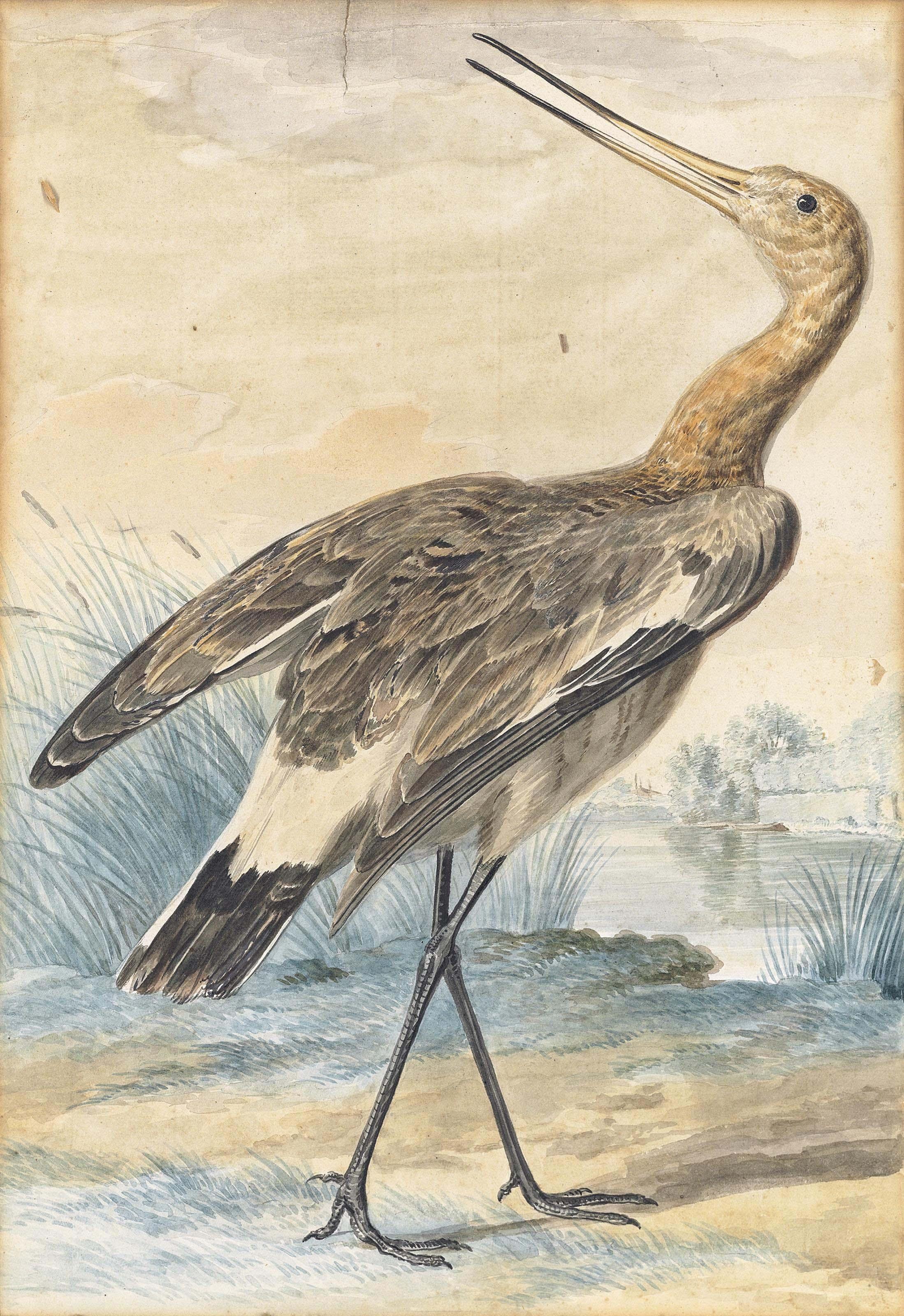 A black-tailed godwit (Limosa melanura)