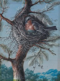 A red-breasted bird nesting in a fir tree; and A blue-throated bird nesting in a fir tree