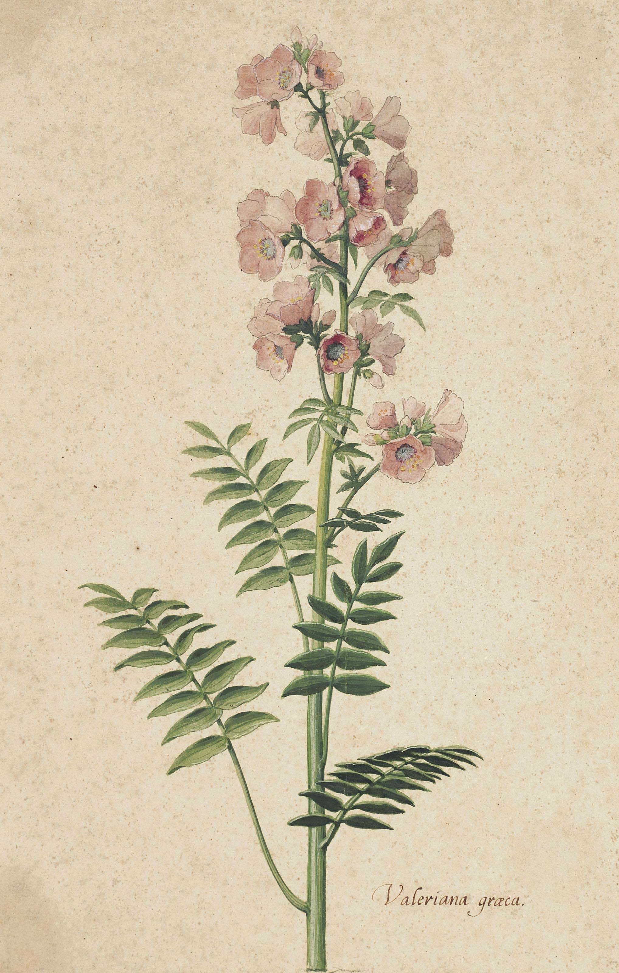 Greek Valerian, also called Jacob's Ladder (Valeriana graeca)