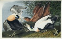 AUDUBON, John James (1785-1851). The Birds of America; from Original Drawings. London: Published by the Author, 1827-1838.