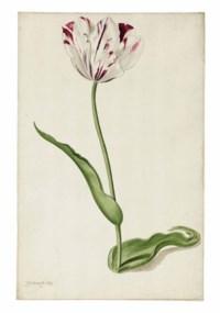 Study of a tulip