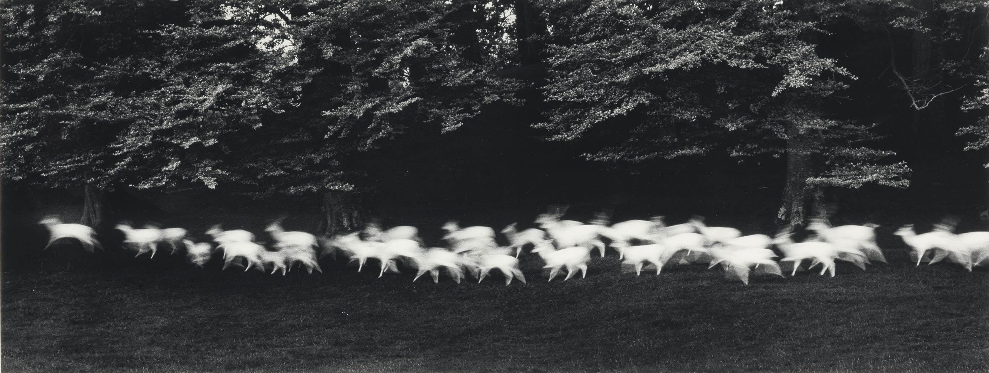 Running White Deer, County Wicklow, Ireland, 1967