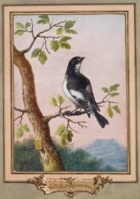 Gobemouche noir sur une branche de chêne