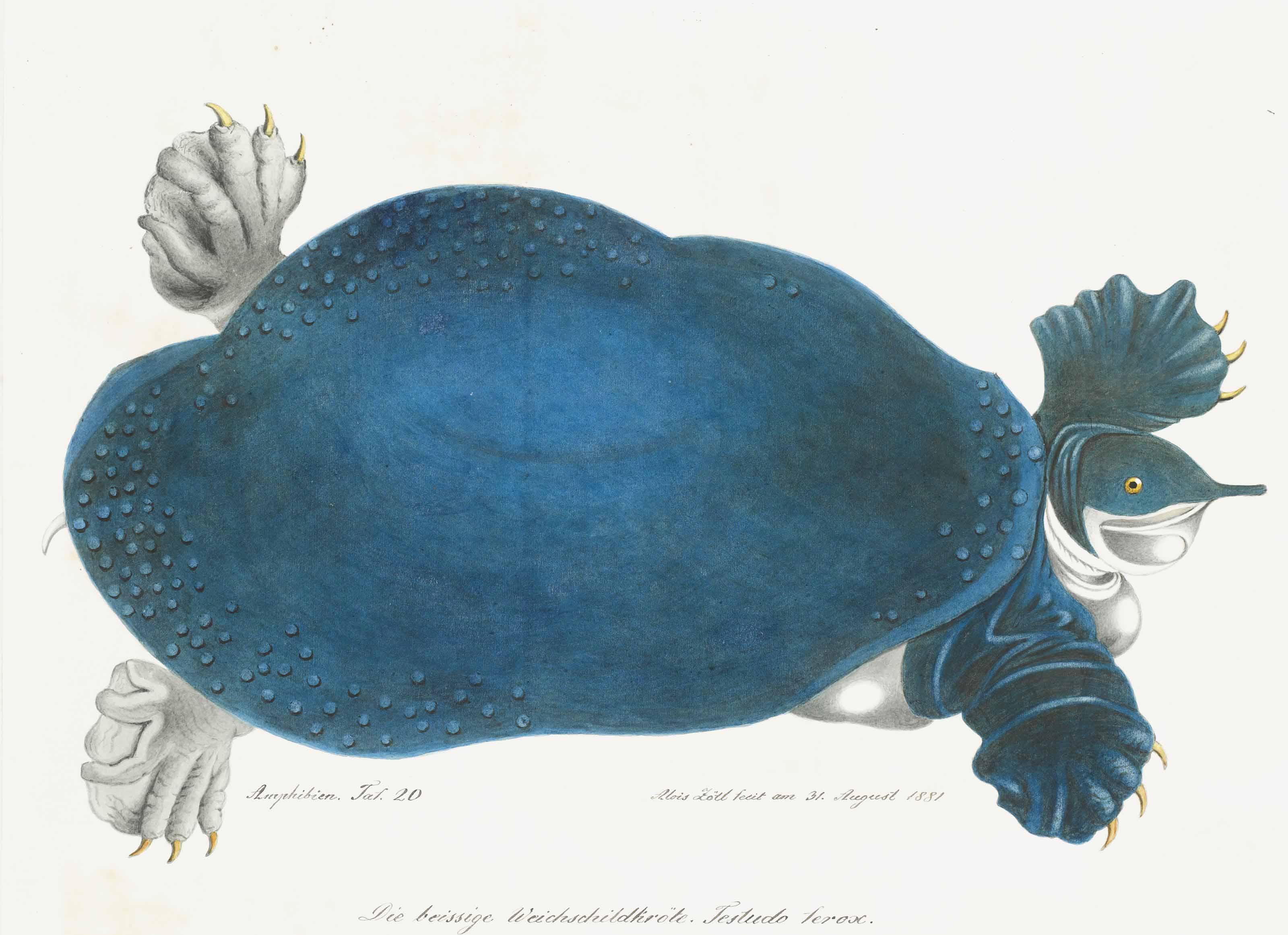 Tortue molle d'Amérique ou Trionyx, autrefois appelée Tortue Bleue