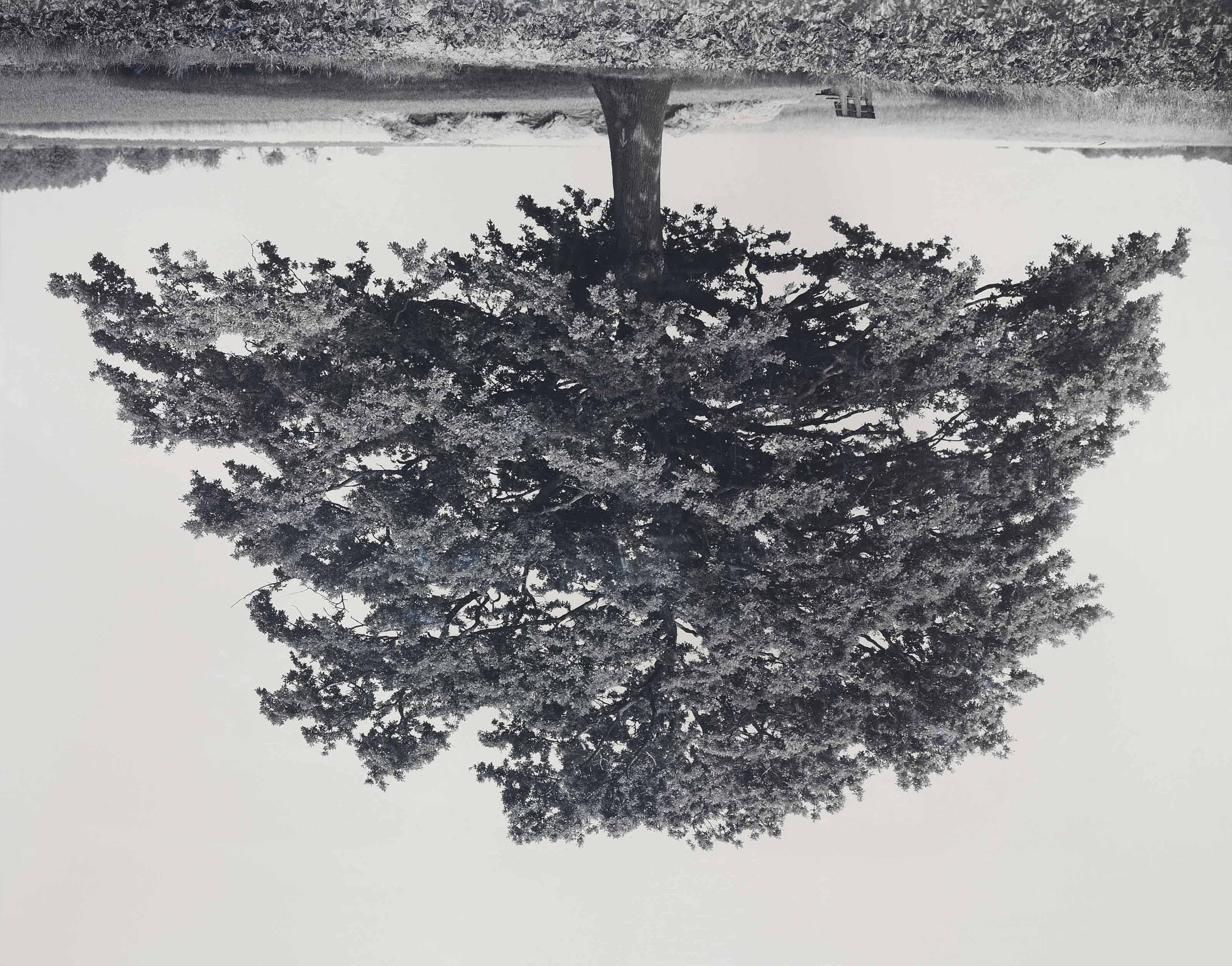 Oak, Kaggevinne (from the series Flanders Trees)