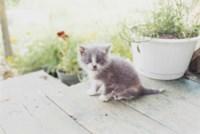 Kitten, Canada