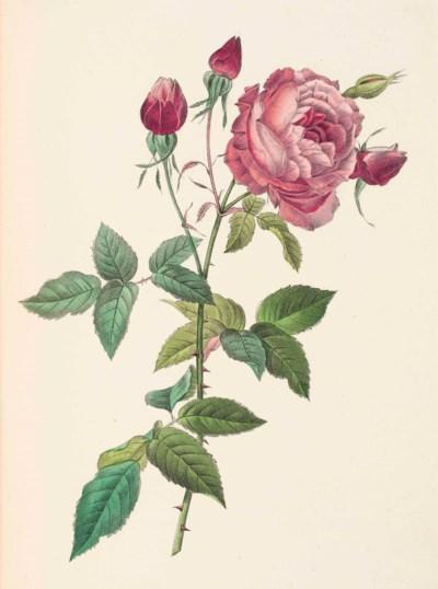 REDOUTÉ, Pierre Joseph (1759-1