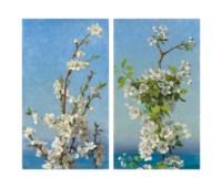 Two studies of hawthorn blossom, Capri