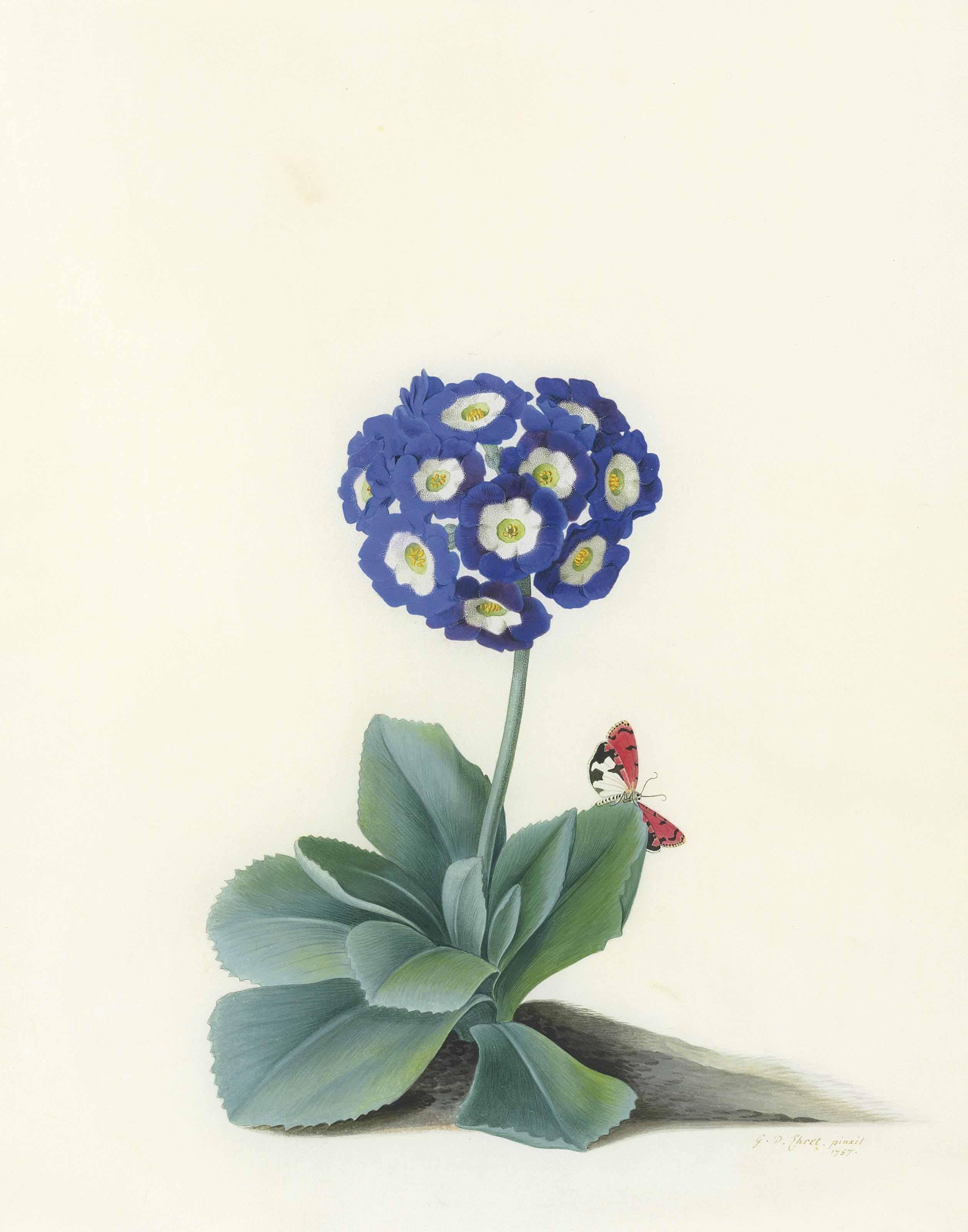A Blue Auricula (Auricula Fille Amoureuse)