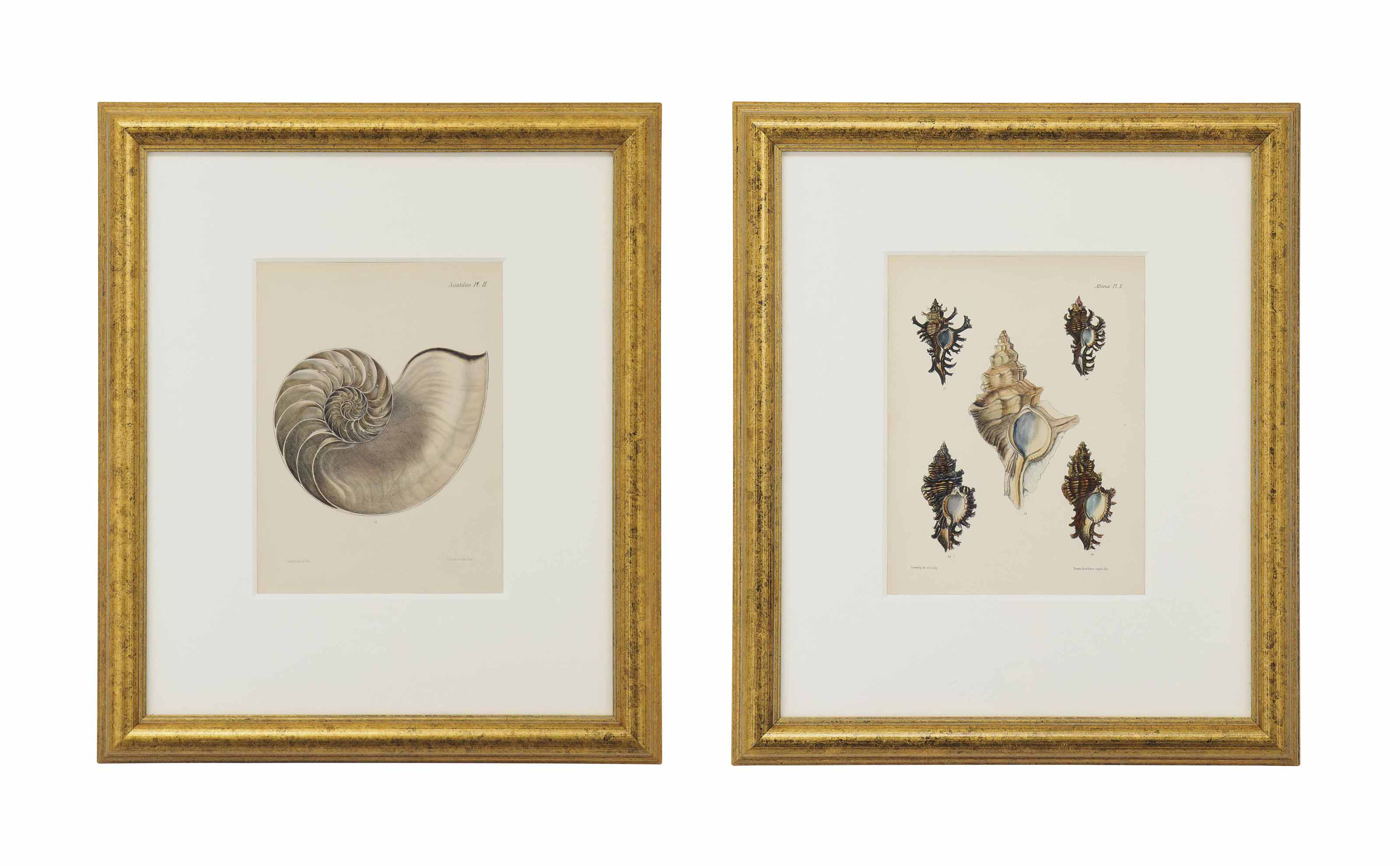 TWELVE HAND-COLOURED LITHOGRAPHS FROM CONCHOLOGIA ICONICA: ILLUSTRATIONS OF THE SHELLS OF MOLLUSCOUS ANIMALS