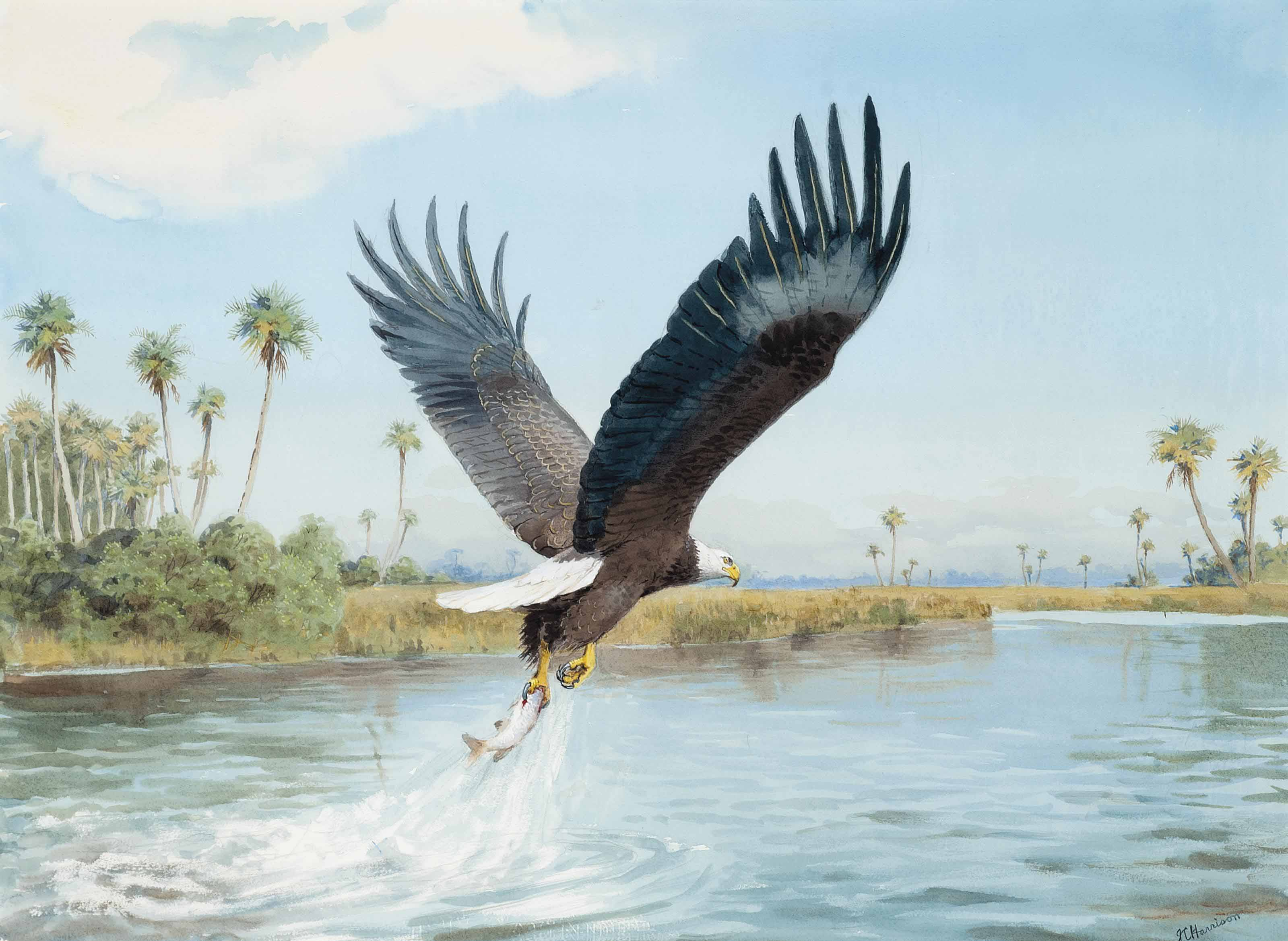 John cyril harrison 1898 1985 a bald headed eagle for Nys fishing license prices