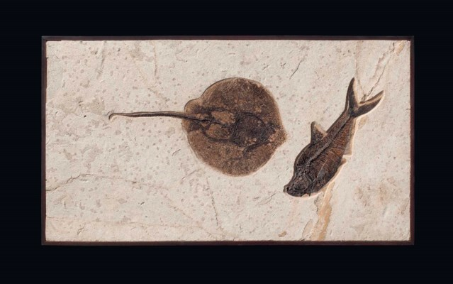 A FOSSIL STINGRAY