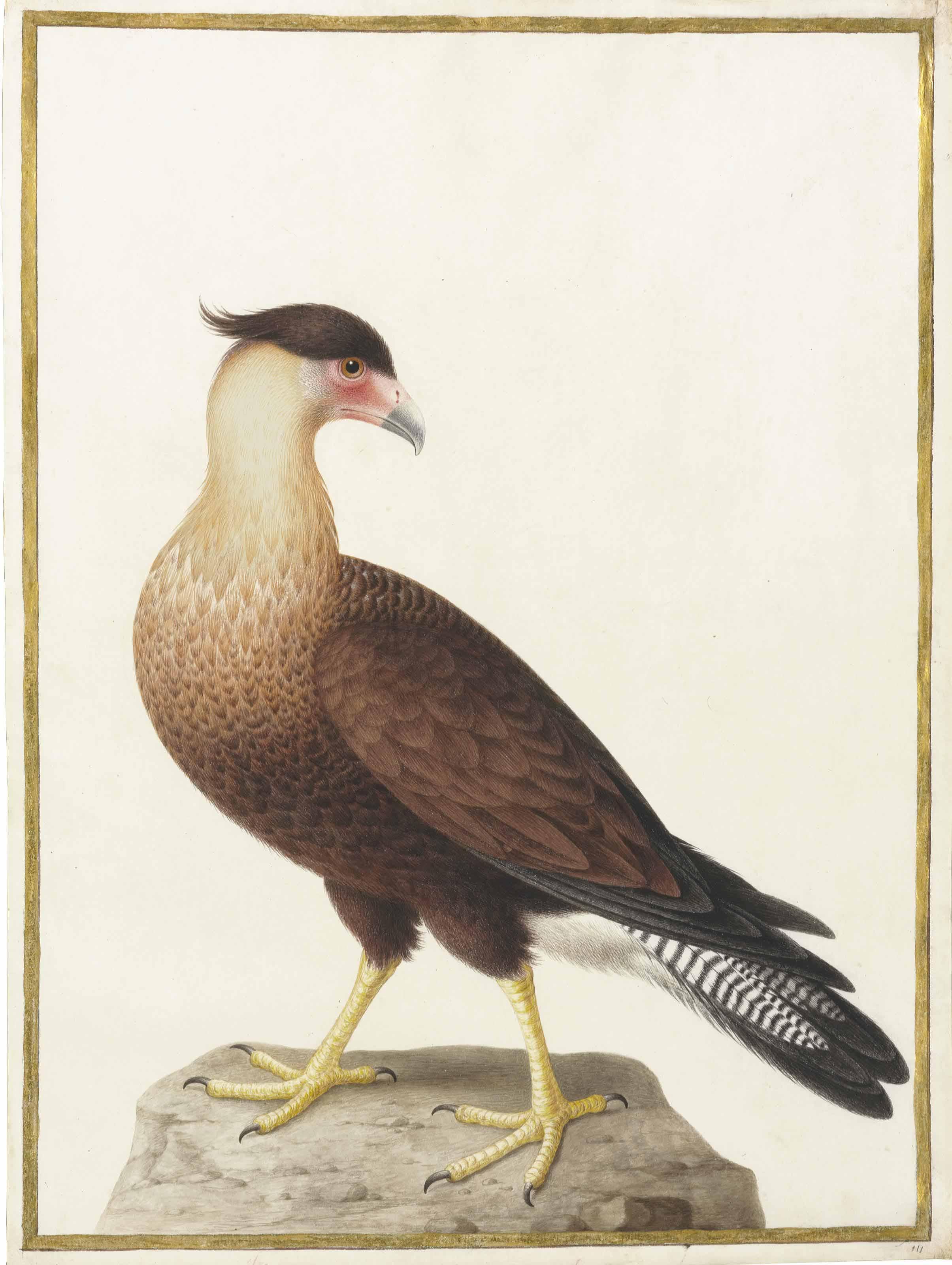 Crested Caracara (Polyborus plancus)