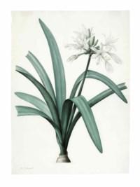 Pancratium Illyricum, Pancratium Littorale, Albuca Major and Agave Yuccafolio; four botanicals