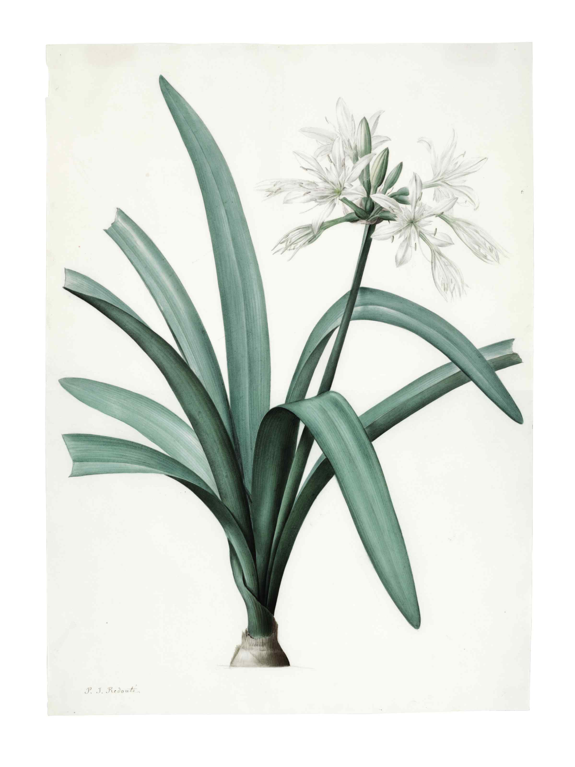Pancratium Illyricum, Pancratium Littorale, Albuca Major and Agave Yuccafolio; four botanicals