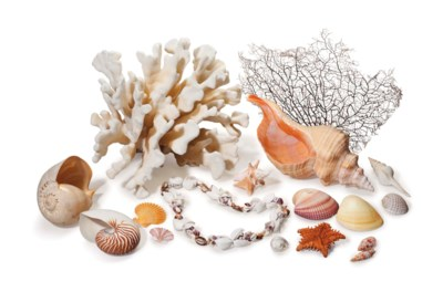 A LARGE COLLECTION OF SEASHELL