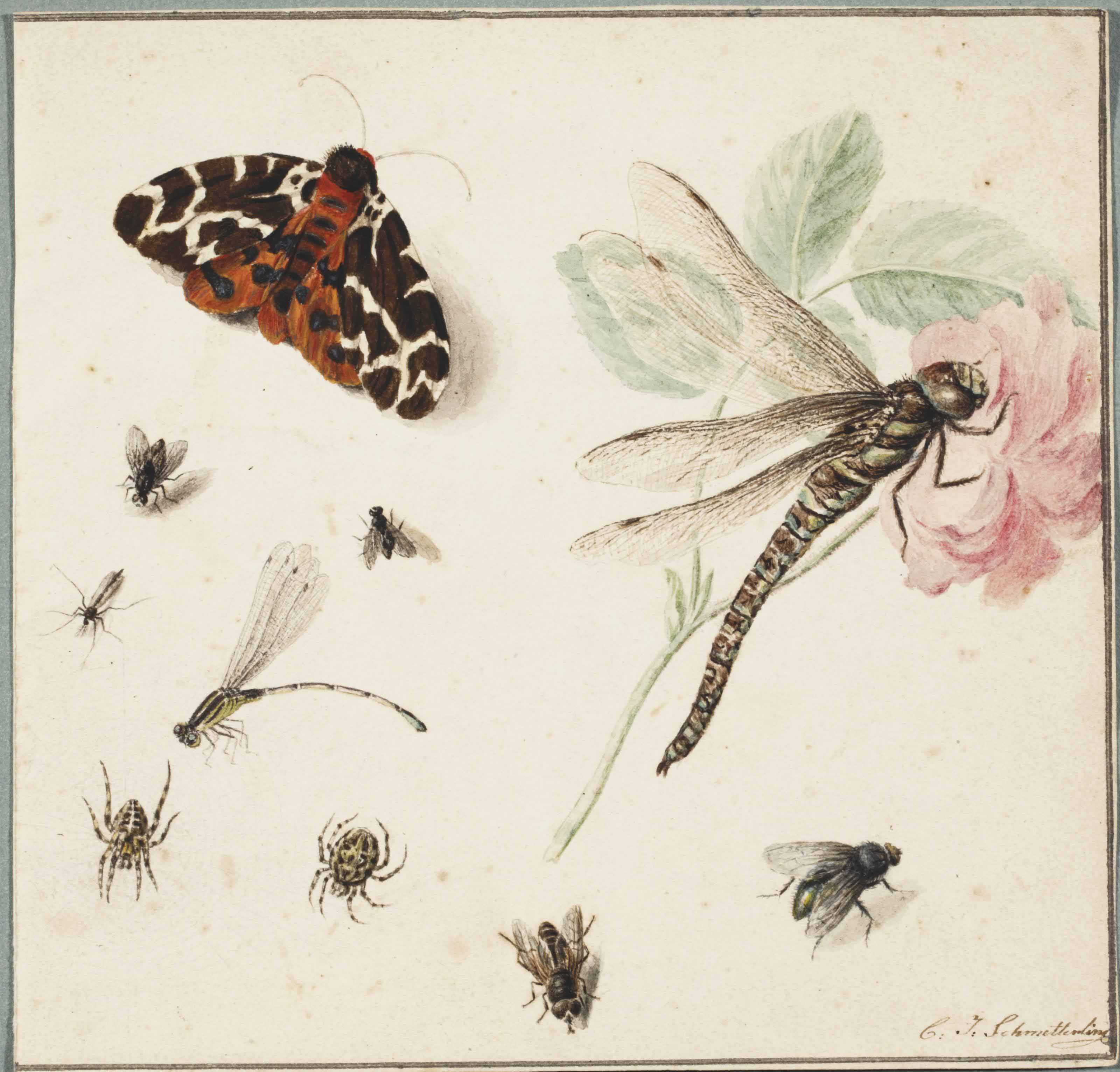 A Tiger-moth, a golden-ringed dragonfly, a darter dragonfly, spiders and flies, and a pink rose