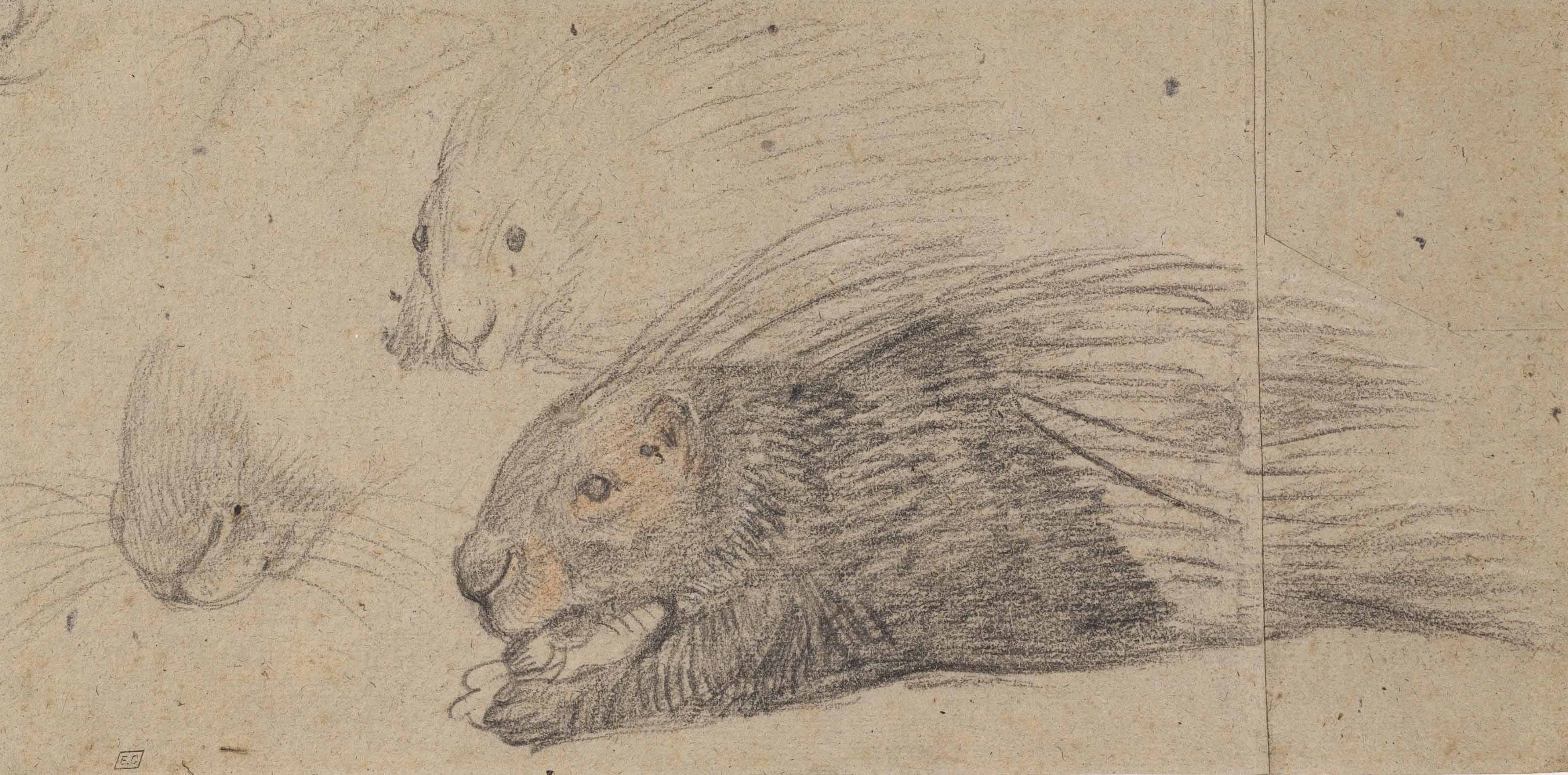 A porcupine in profile, with two subsidiary studies of its head