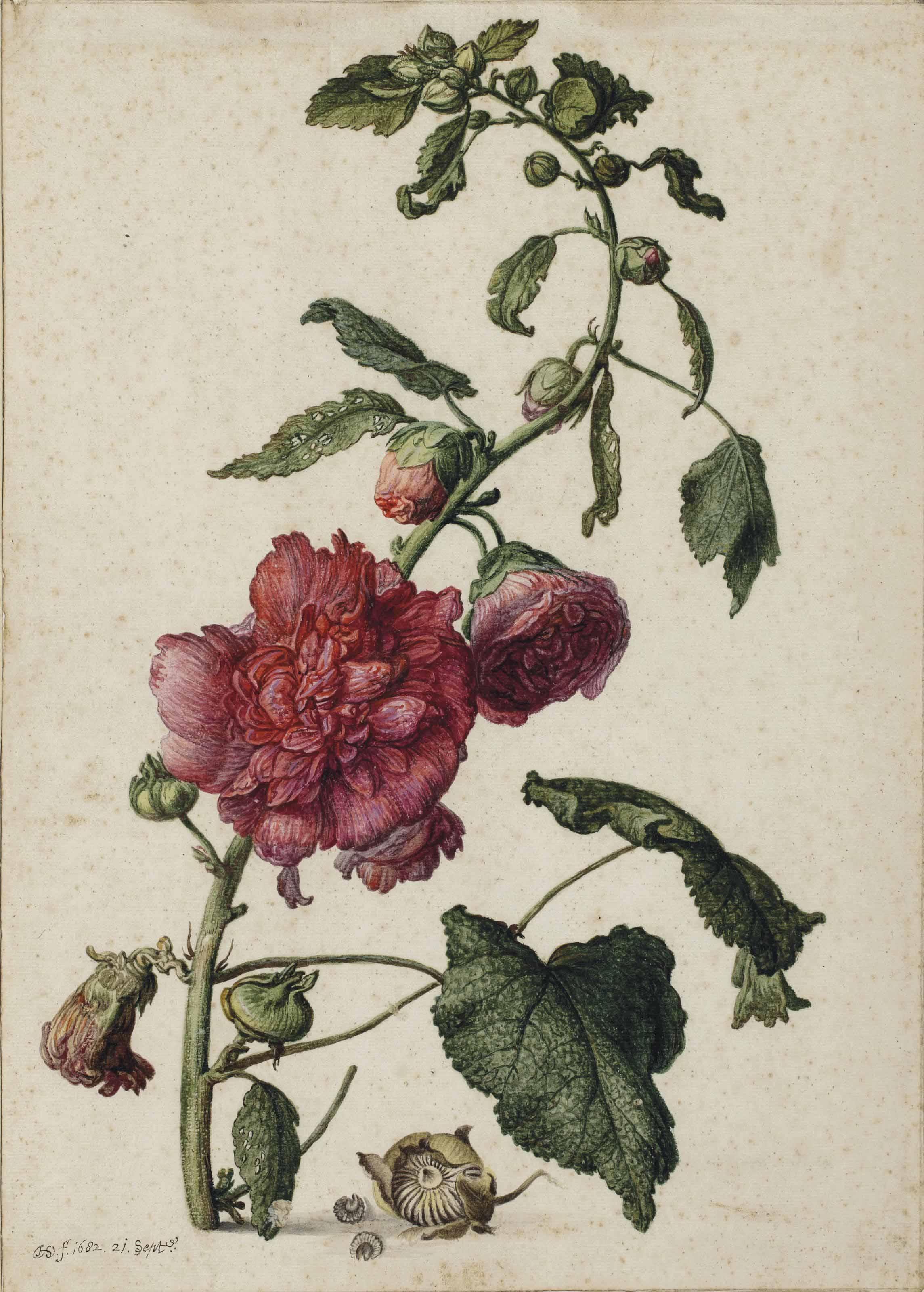A hollyhock (Alcea rosea)