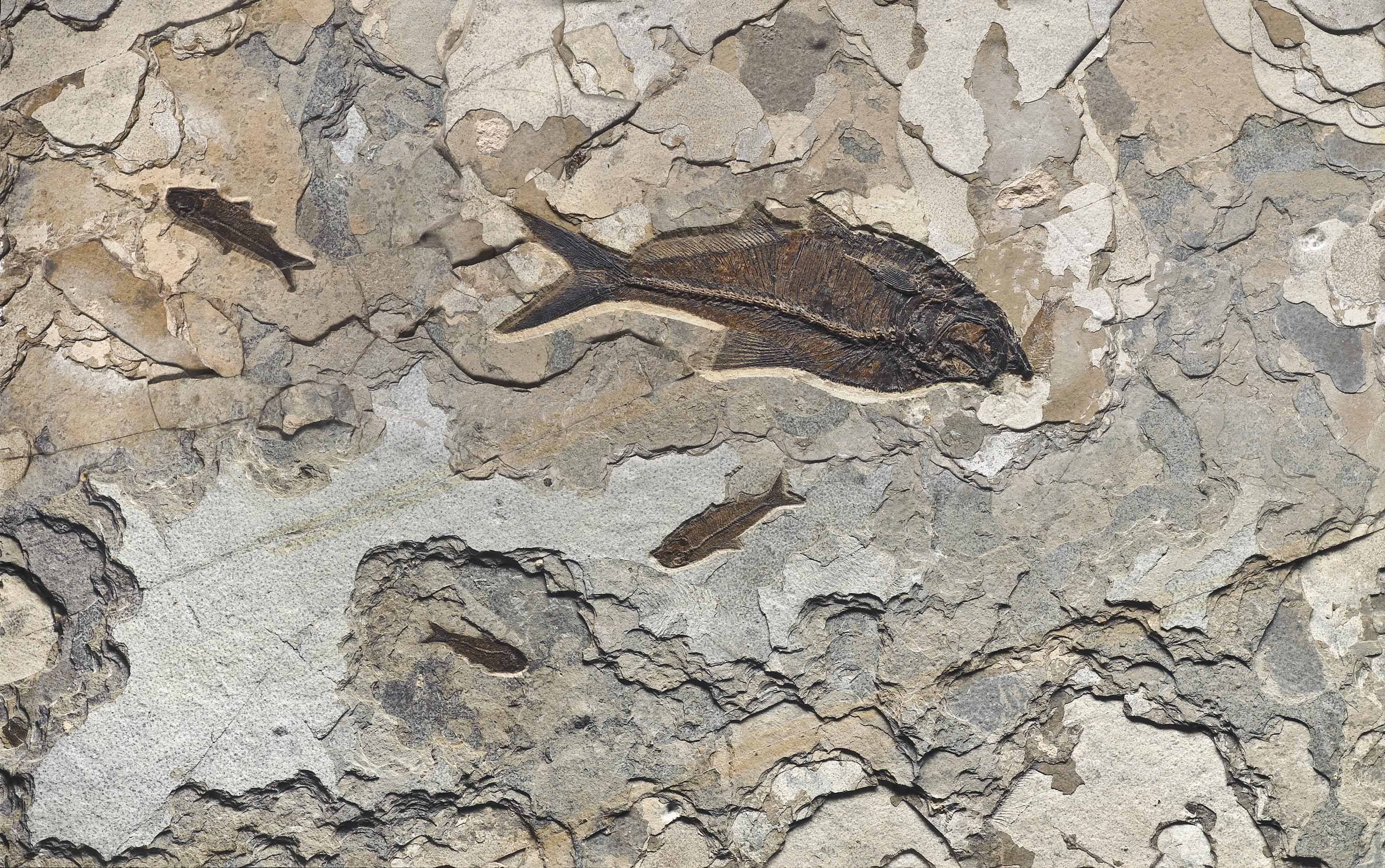 A PLAQUE OF FOSSIL FISH