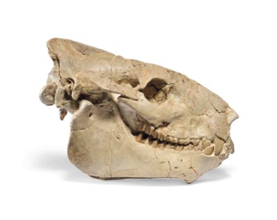 A Merycoidodon SKULL