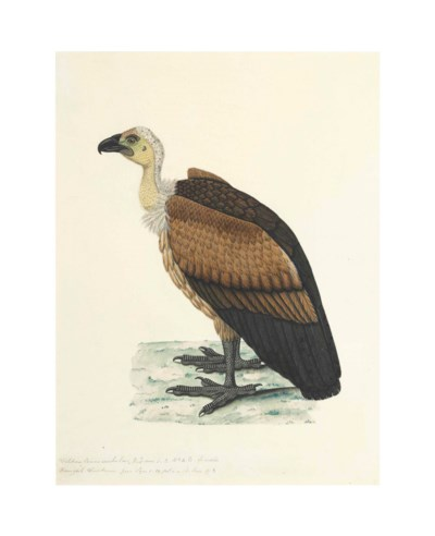 A study of a Bengal Vulture, f