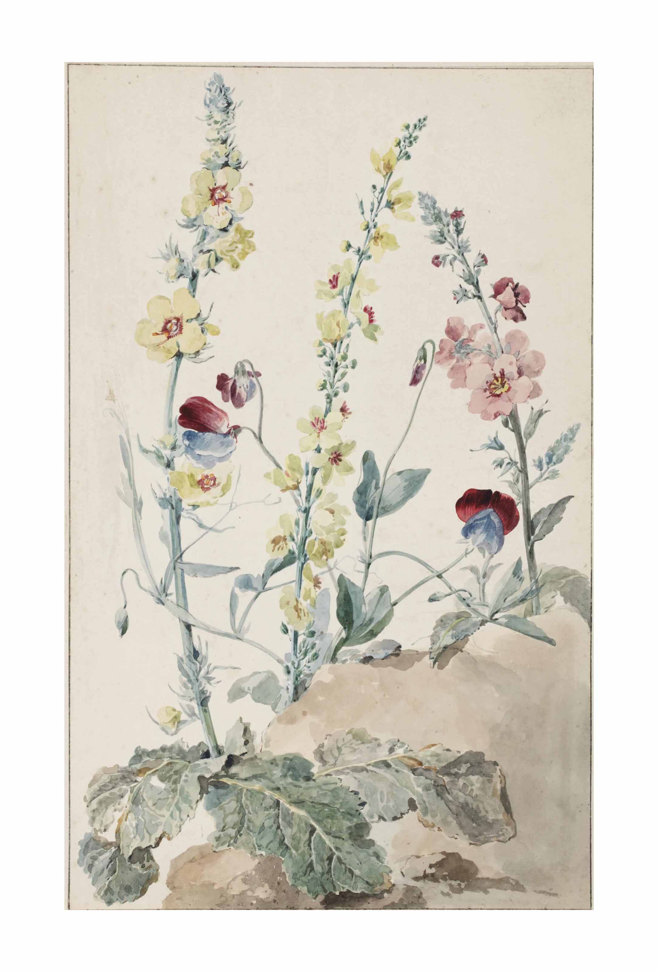 Study of Verbascum and sweet-peas (Lathyrus odoratus)