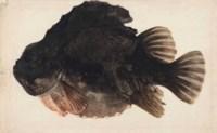 A male lumpsucker (cyclopterus lumpus)