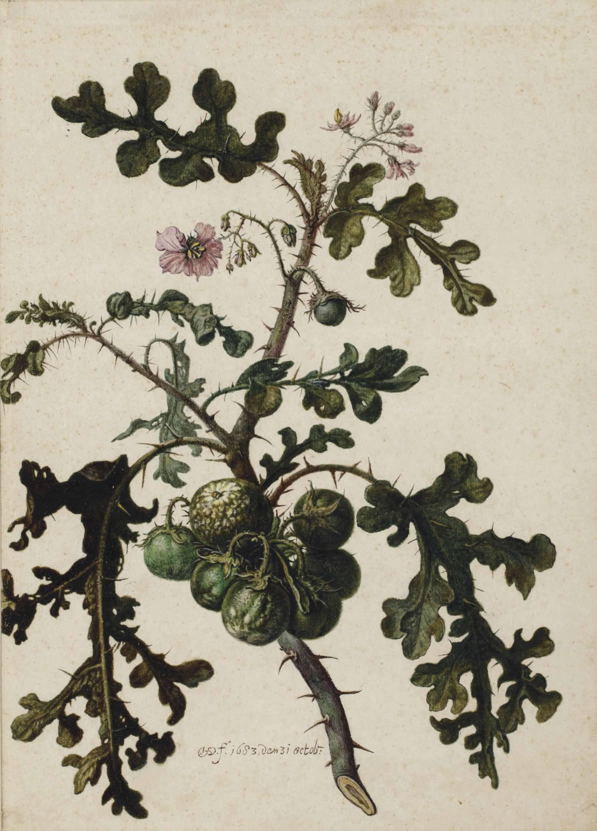 A litchi tomato (Solanum sisymbriifolium)