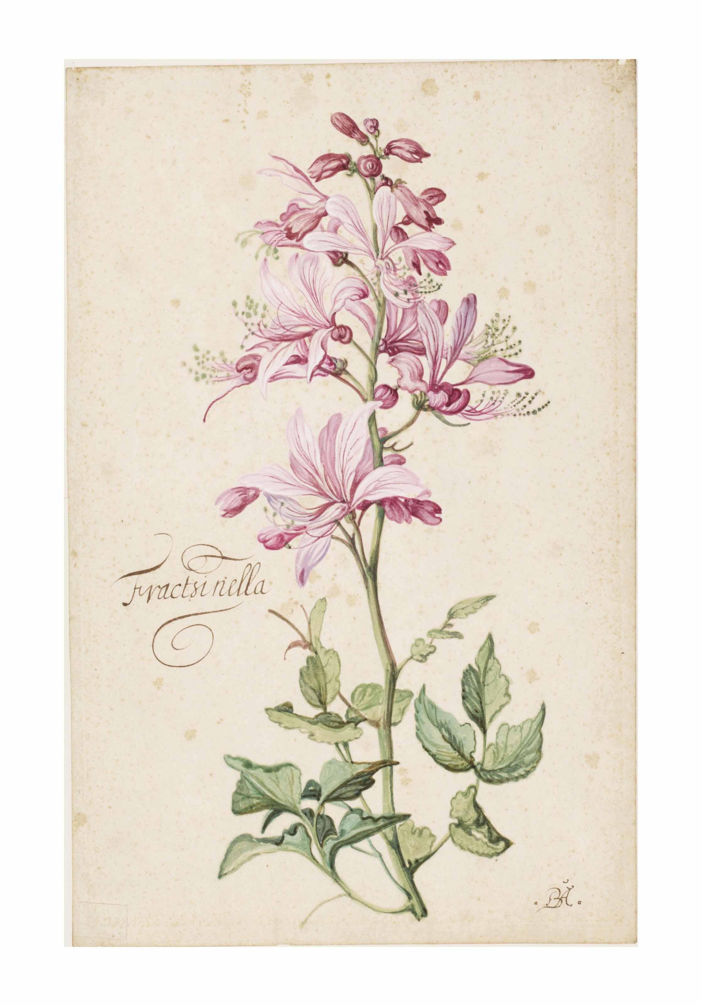 Dictamnus, also called Fraxinella (Dictamnus albus)