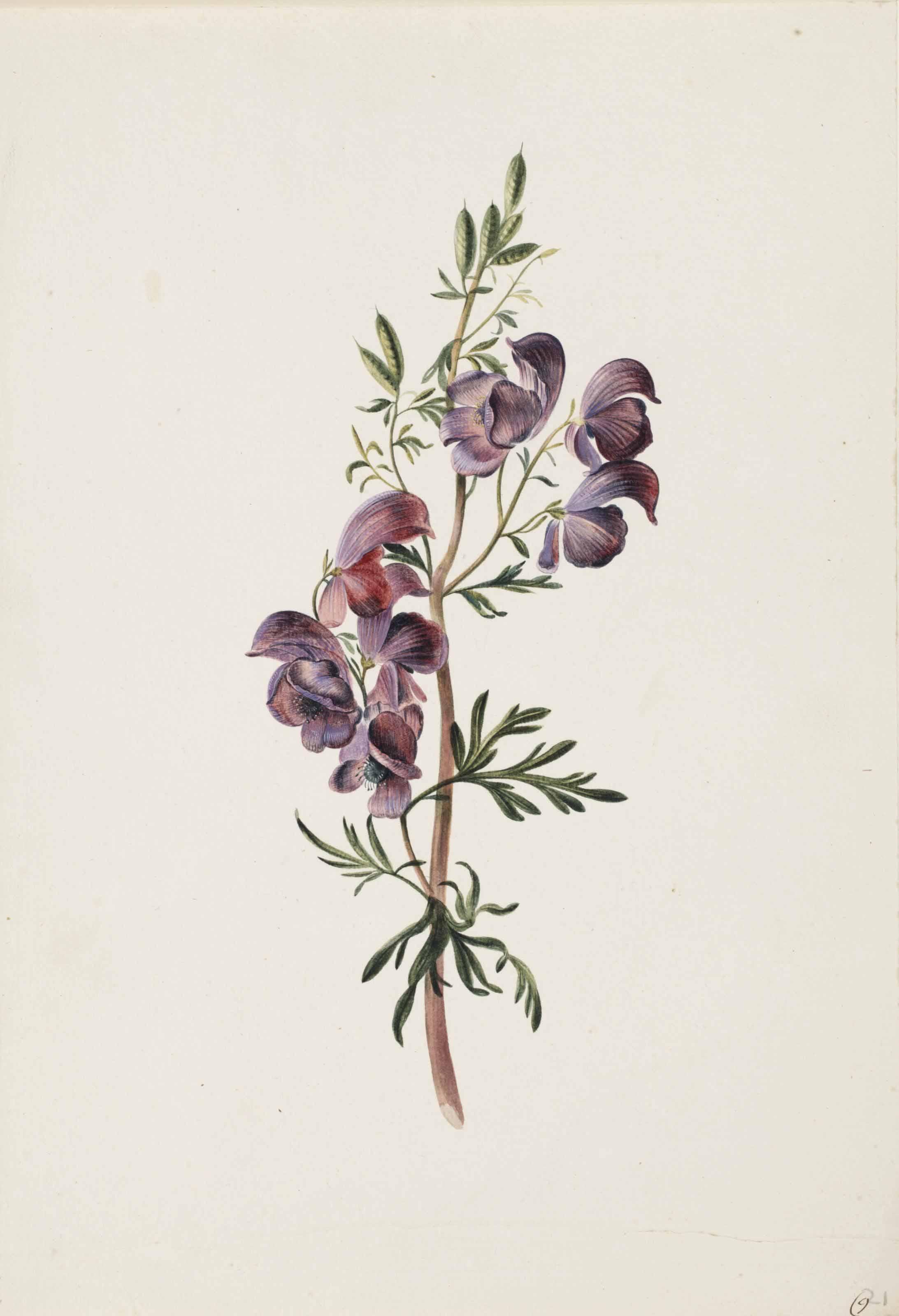 Aconitum or Monkshood
