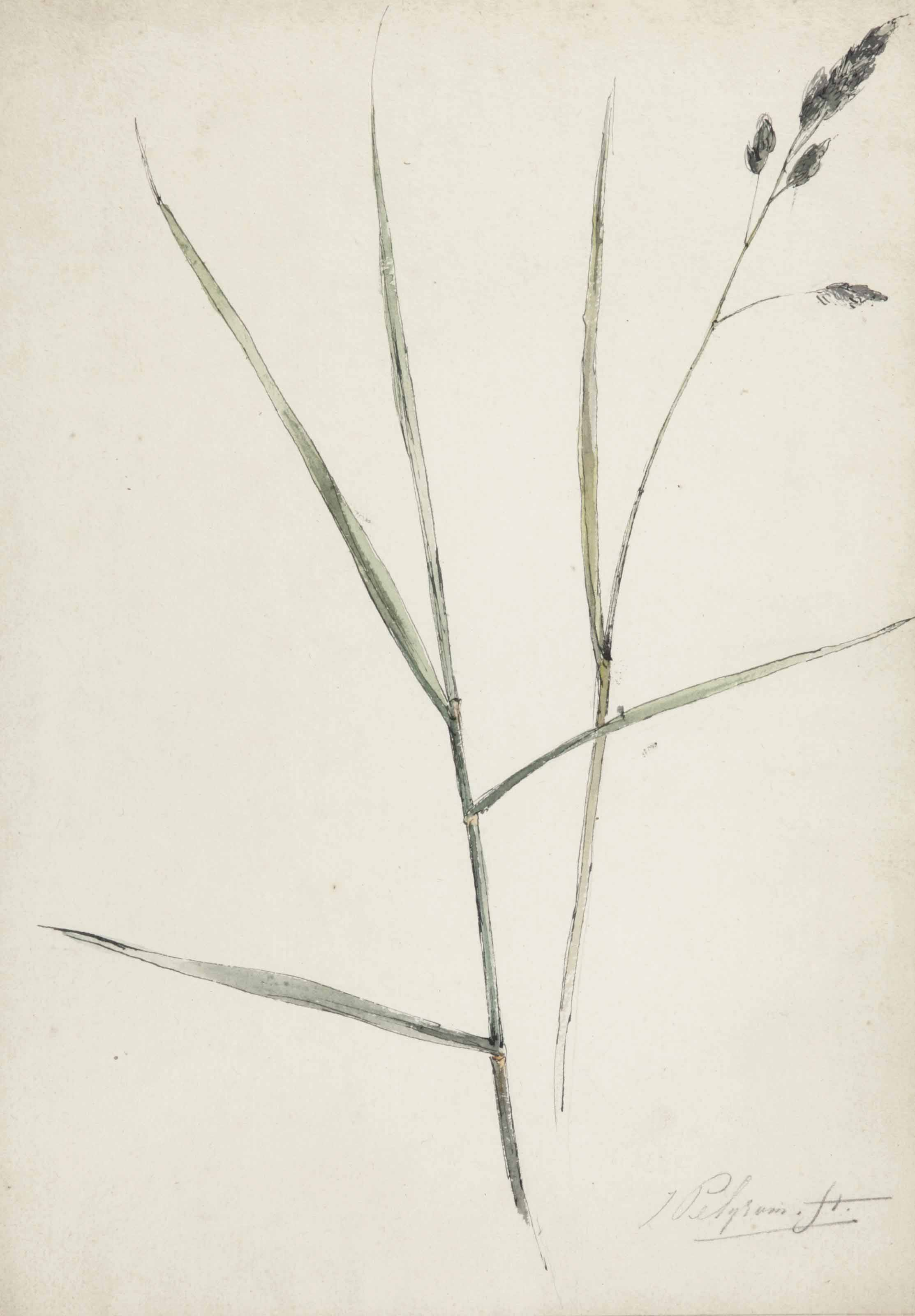 Study of grass or sedge