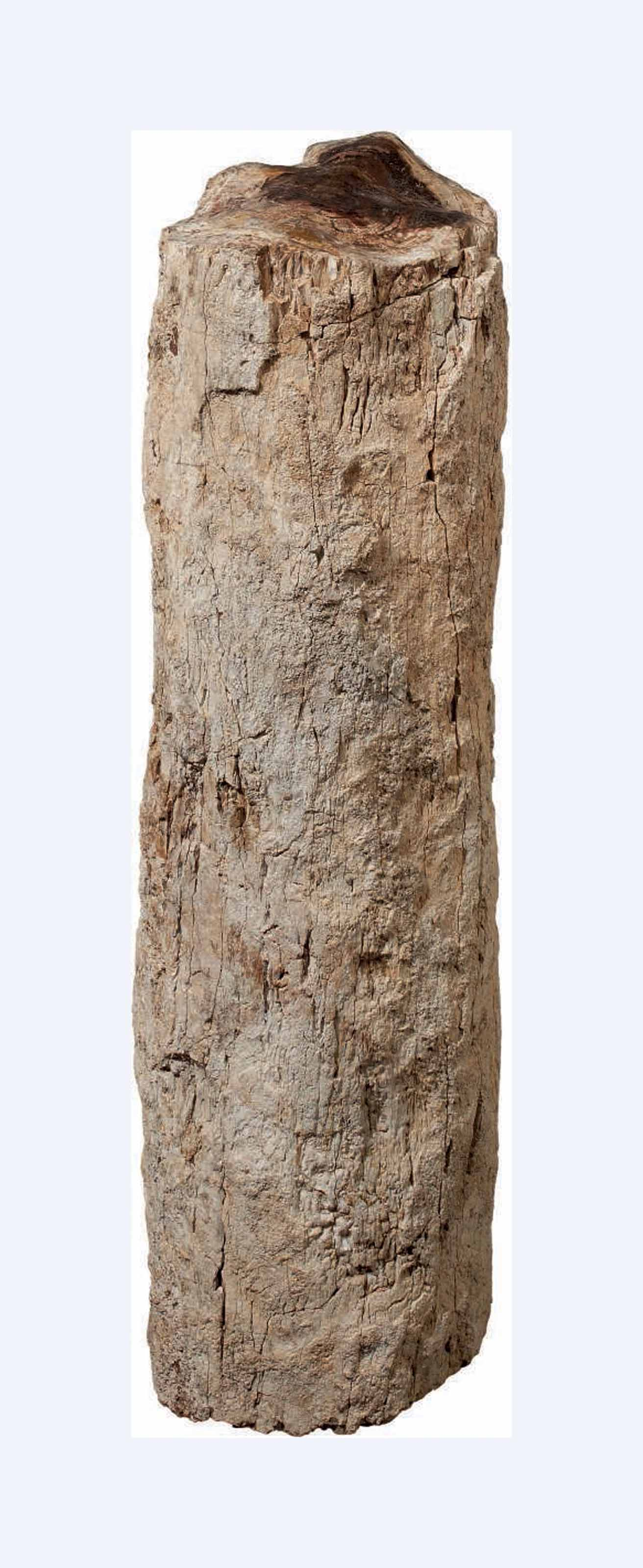 A SPECIMEN OF PETRIFIED TREE T