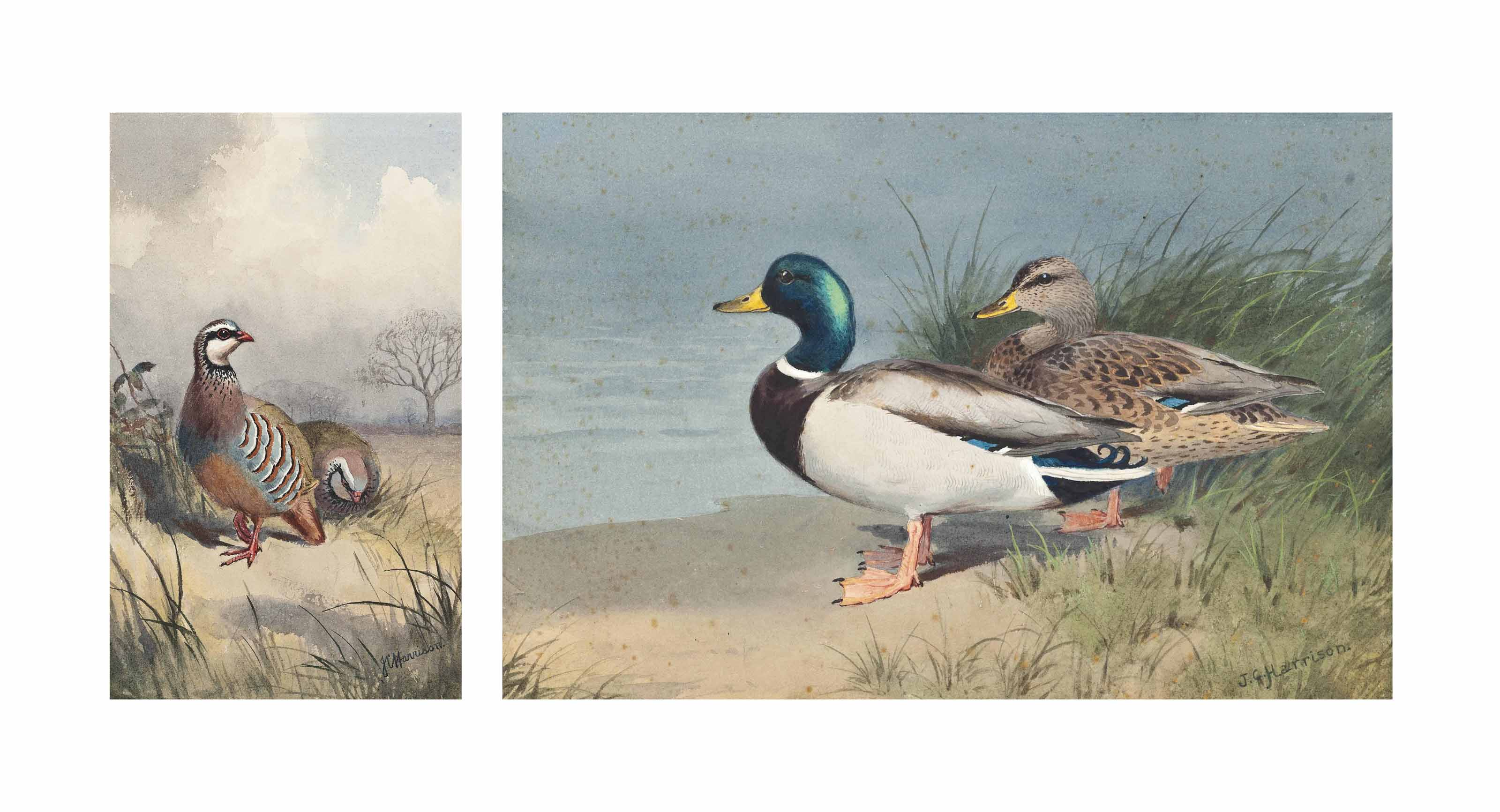 Mallards at the water's edge; and A pair of French partridges