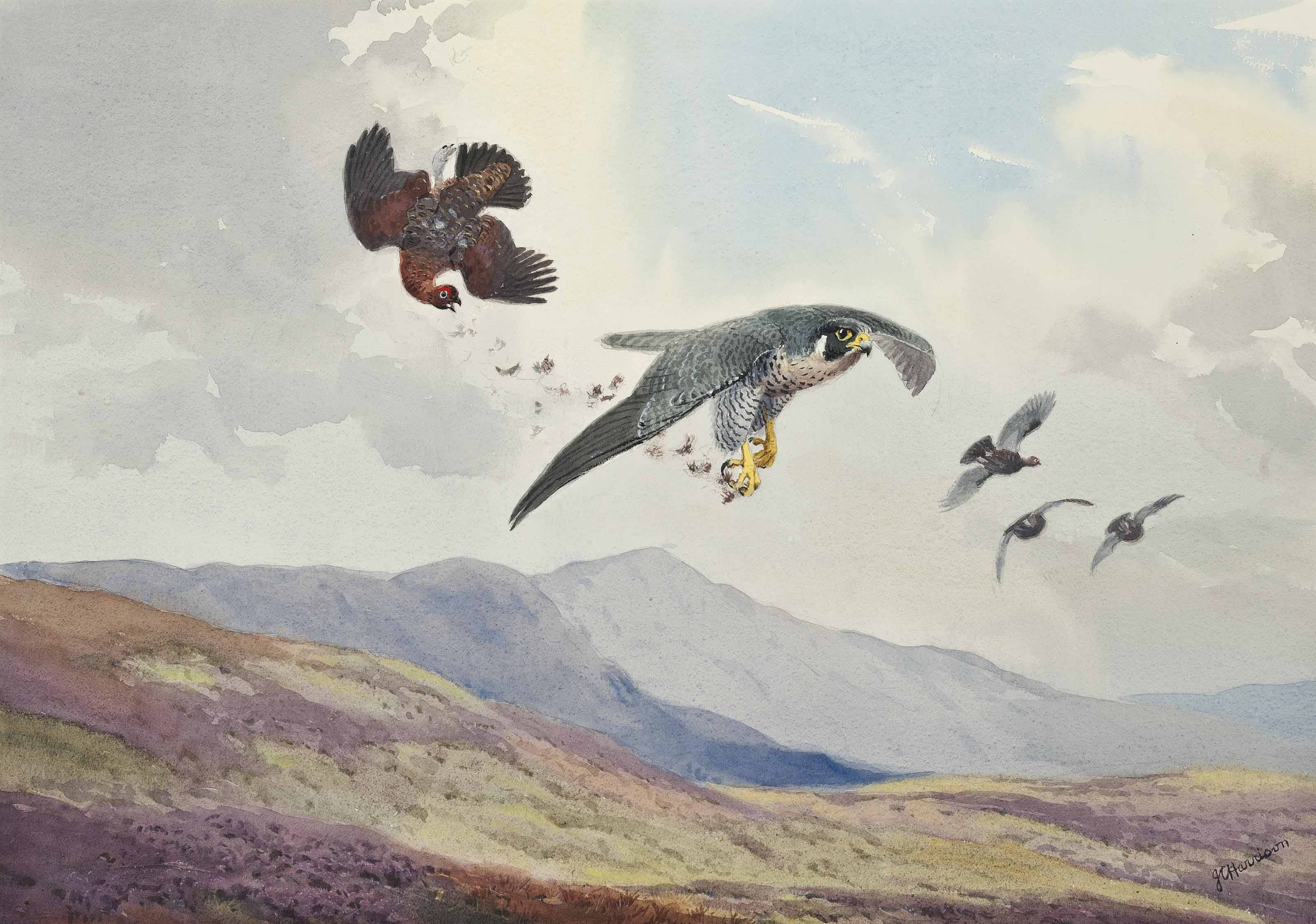 A peregrine falcon striking a grouse in flight