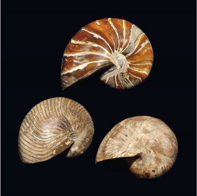 A GROUP OF NAUTILUS FOSSILS