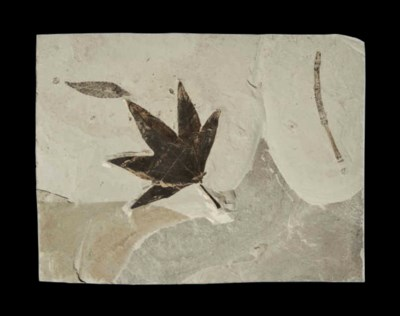 A FOSSIL MAPLE LEAF