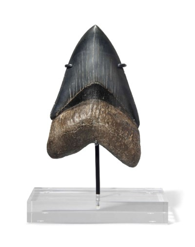 A FINE MEGALODON TOOTH