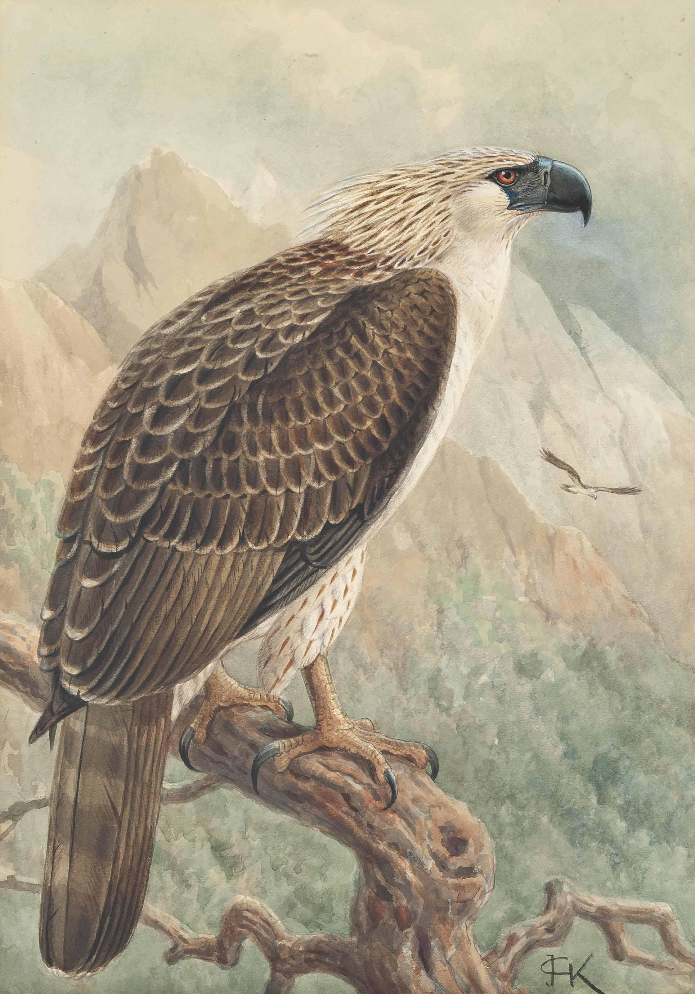 Monkey Eating Eagle, (Pithecophaga Jefferyi)