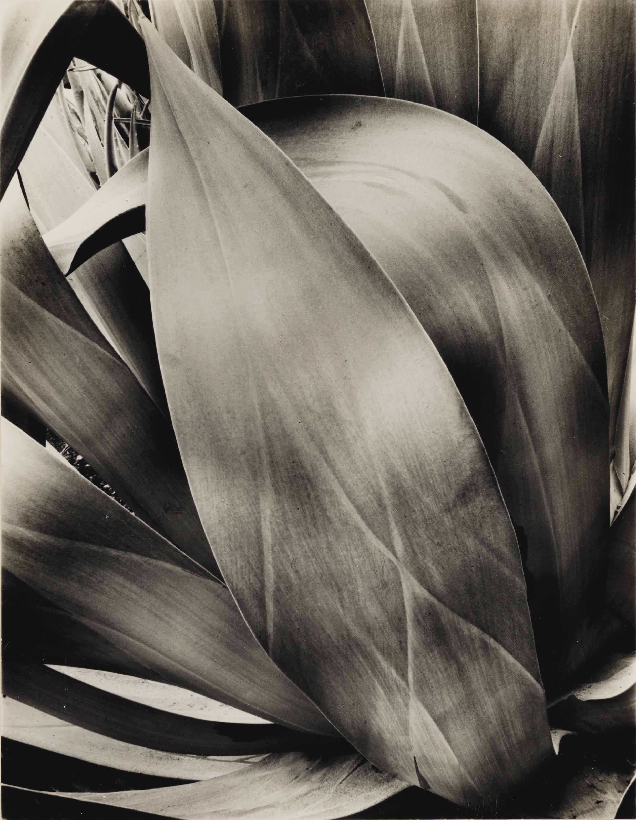 Study of Agave, 1932