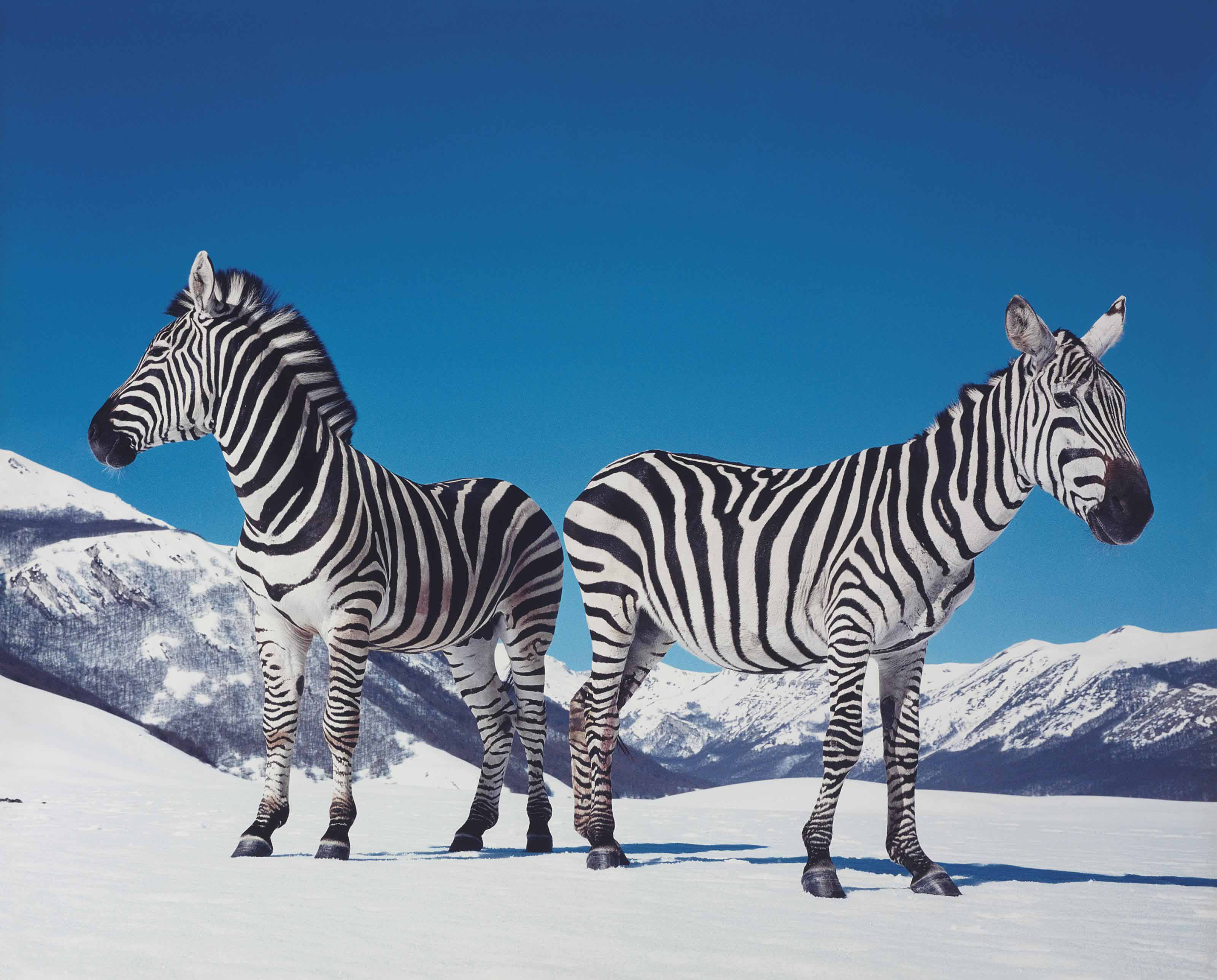 Untitled (Zebras)