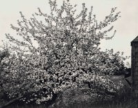 Apple Tree in Full Bloom, Maine, 1946