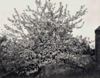 Apple Tree in Full Bloom, Maine, 1946