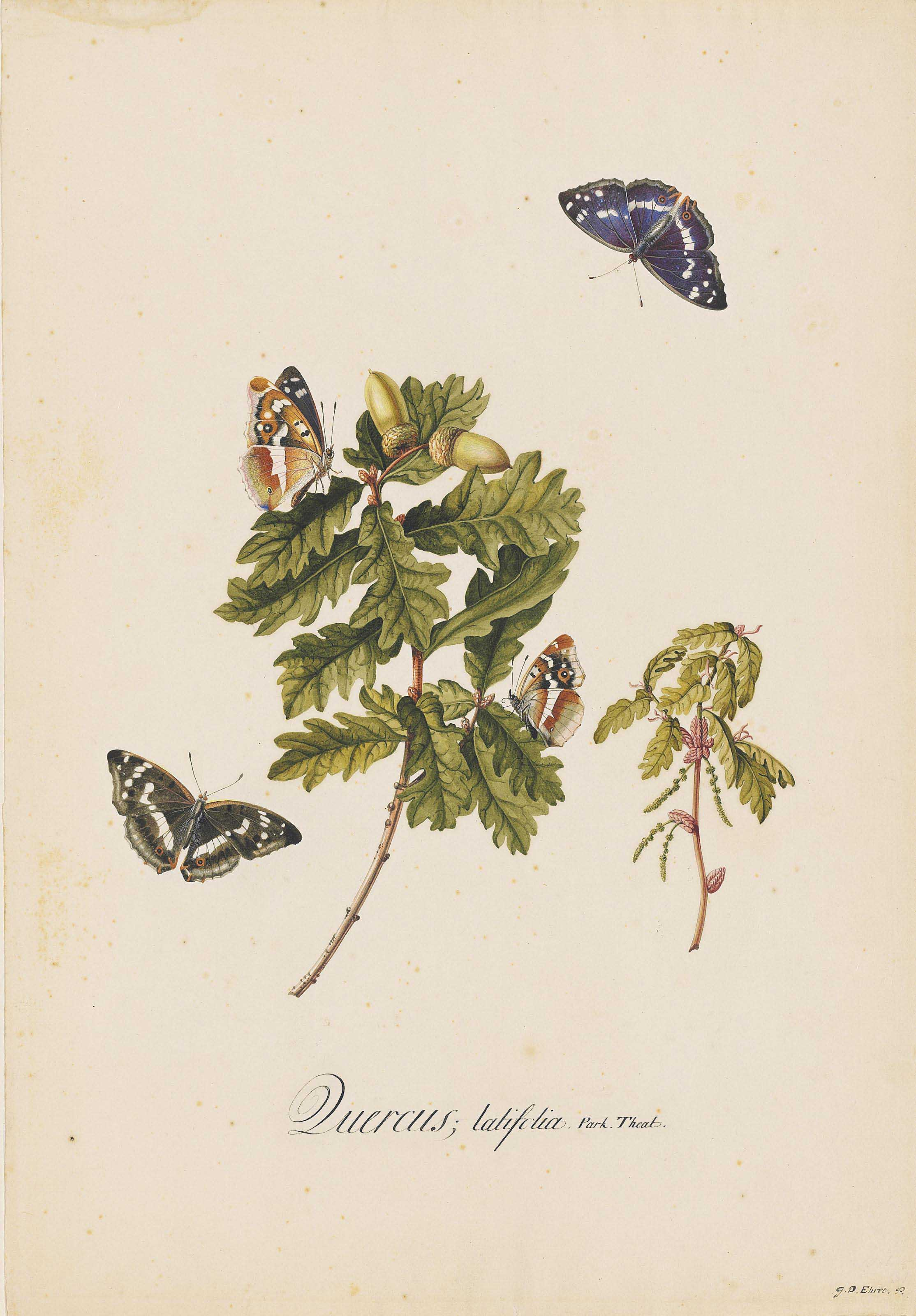 Broad-leaved oak clippings (Quercus latifolia) with male and female Purple Emperor butterflies (Apatura iris), their upperwings and underwings displayed