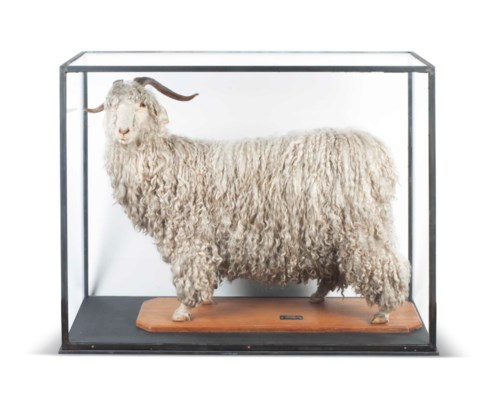 A SOUTH AFRICAN TAXIDERMY MOHA