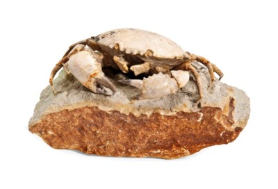 A FOSSIL CRAB