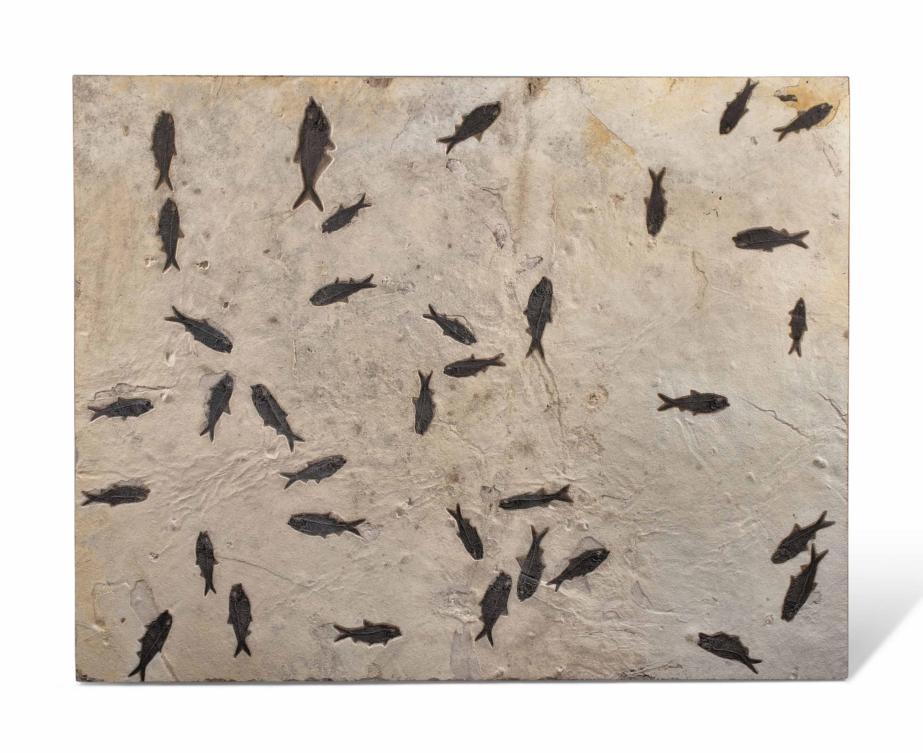 A large fossil fish mortality plaque. Green River, Wyoming, from the Eocene (c. 50 million years ago). 54 x 42 in (138 x 107 cm). Sold for £32,500 on 19 October 2016