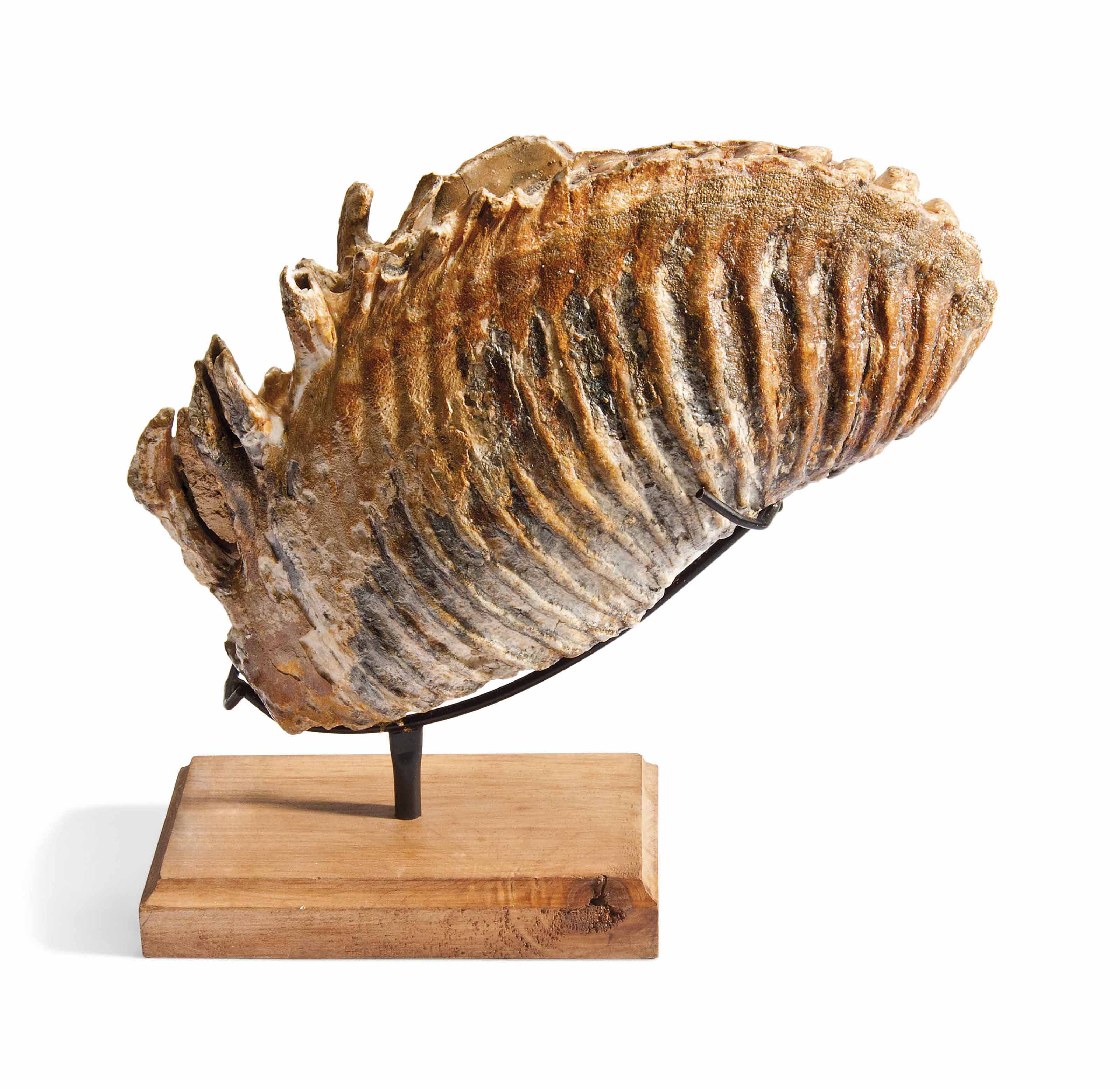 A WOOLLY MAMMOTH TOOTH