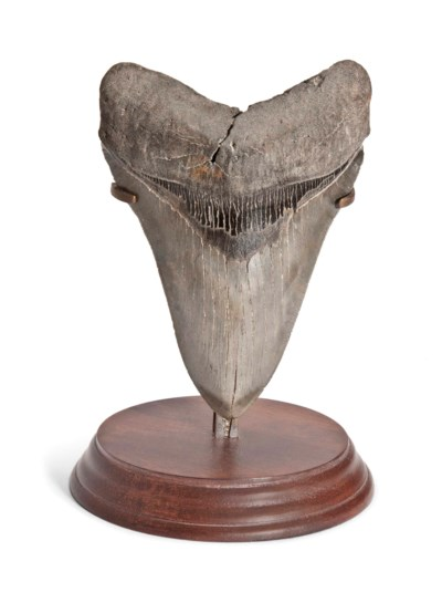 A MEGALODON TOOTH